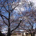 桜満開(*´∀`)♪